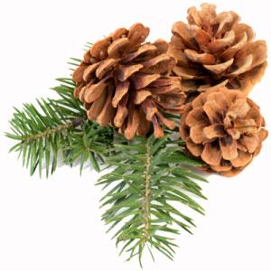 Maritime-pine-bark - best nootropic ingredient