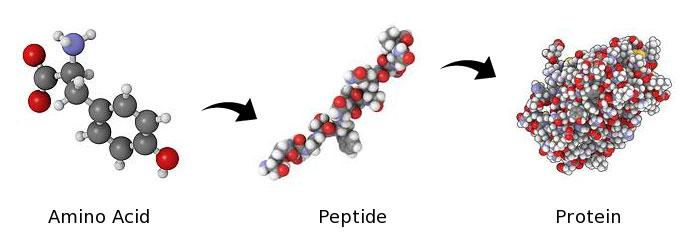 Protein-peptide-amino-acids